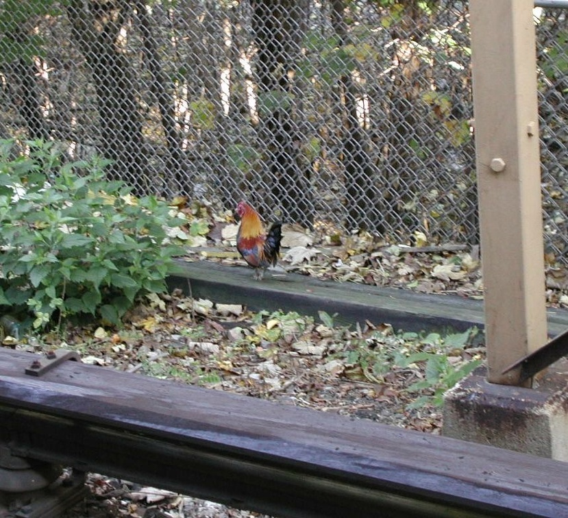 Full body shot of the rooster at Metropolitan Av Station small. Photo taken by Koi Morris.